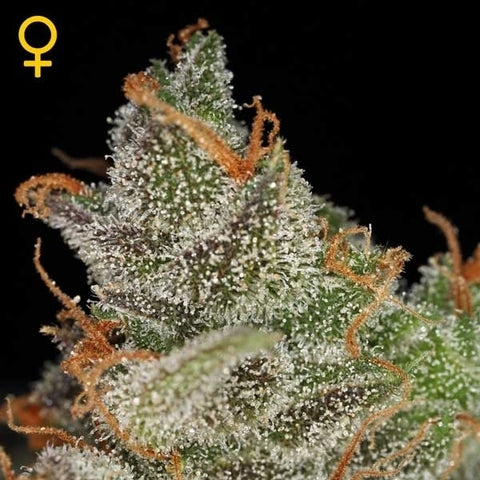 Green House Seeds - Kings Kush Auto - The JuicyJoint