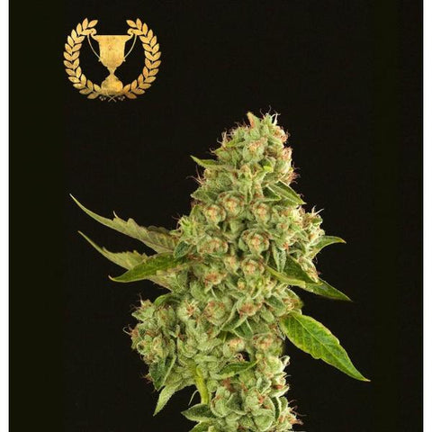 Devils Harvest Seeds - Kuchi - The JuicyJoint