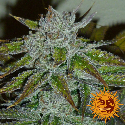 Barneys Farm Seeds - Acapulco Gold - The JuicyJoint