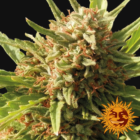Barneys Farm Seeds - Red Cherry Berry - The JuicyJoint