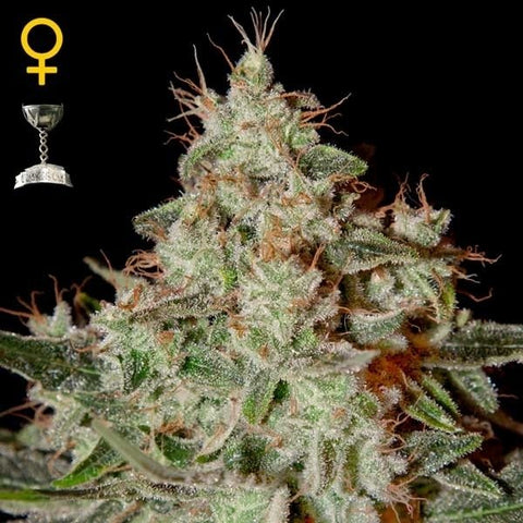 Green House Seeds - Lemon Skunk - The JuicyJoint