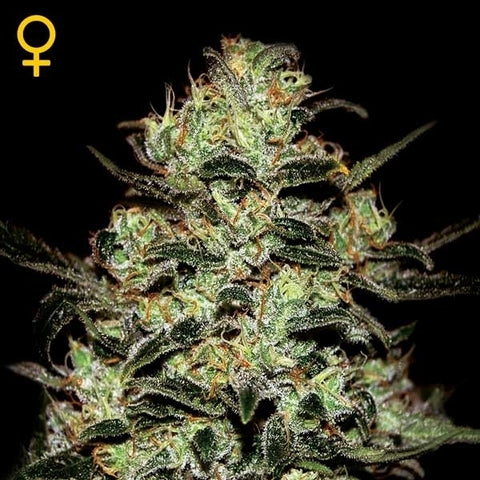 Green House Seeds - Moby Dick - The JuicyJoint