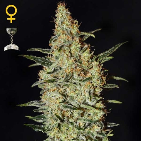 Green House Seeds - Neville's Haze - The JuicyJoint