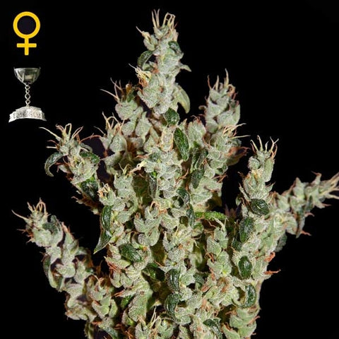 Green House Seeds - NL5 Haze Mist - The JuicyJoint