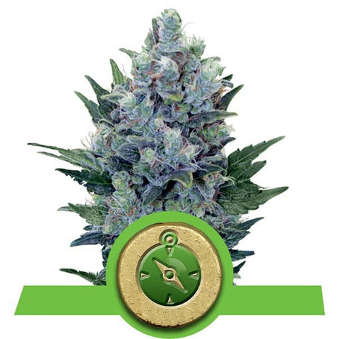 Royal Queen Seeds - Northern Lights Automatic - The JuicyJoint
