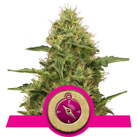 Royal Queen Seeds - Northern lights - The JuicyJoint