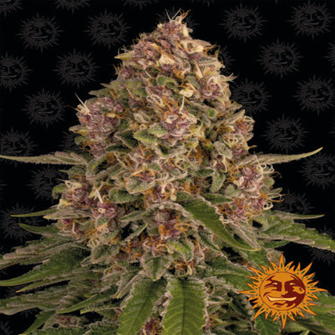 Barneys Farm Seeds - Pink Kush™