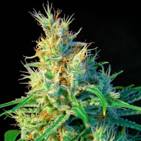 Sweet Seeds - Psicodelica