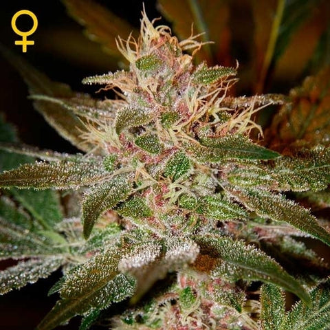Green House Seeds - Pure Kush - The JuicyJoint
