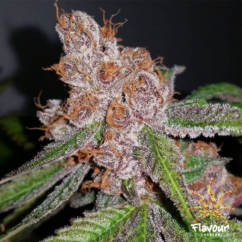 Flavour Chasers Seeds - Purple Urkle