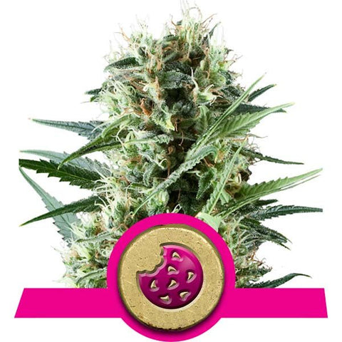 Royal Queen Seeds - Royal Cookies - The JuicyJoint