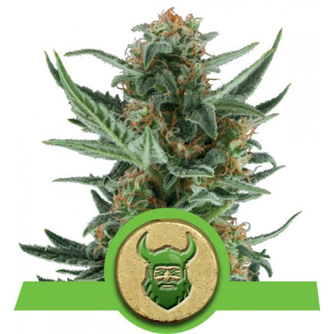 Royal Queen Seeds - Royal Dwarf - The JuicyJoint