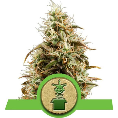 Royal Queen Seeds - Royal Jack Automatic - The JuicyJoint