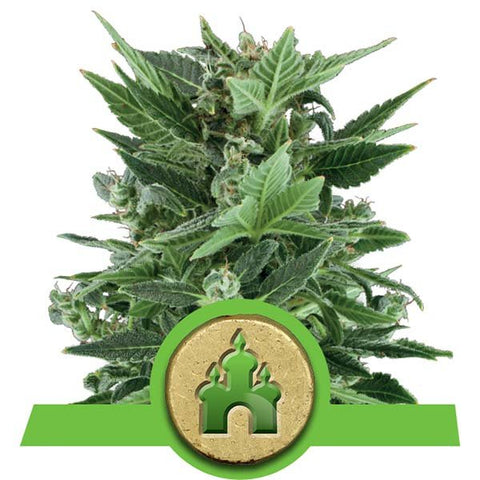Royal Queen Seeds - Royal Kush Automatic - The JuicyJoint
