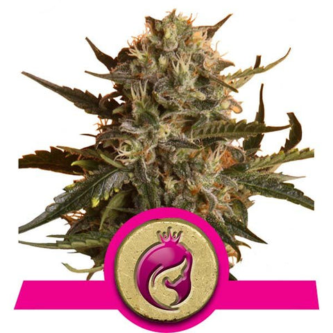 Royal Queen Seeds - Royal Madre - The JuicyJoint