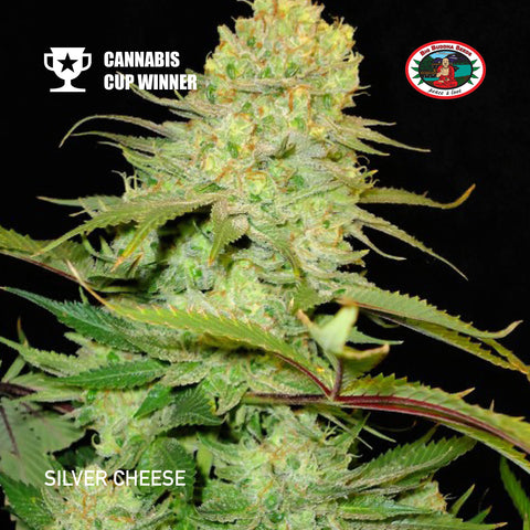 Big Buddha Seeds - Silver Cheese - The JuicyJoint