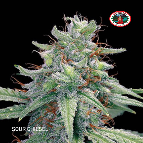 Big Buddha Seeds - Sour Chiesel - The JuicyJoint