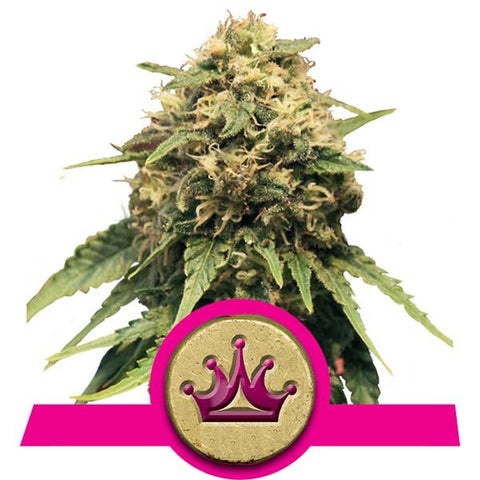 Royal Queen Seeds - Special Queen #1 - The JuicyJoint