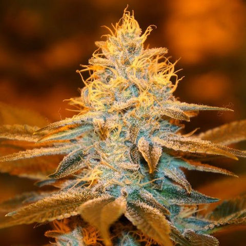 SALE!! T.H. Seeds - Strawberry Glue