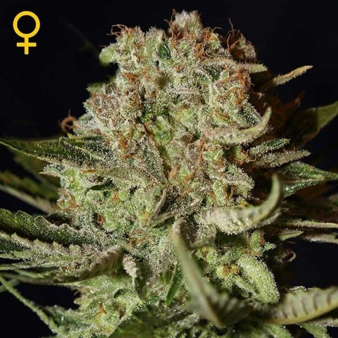 Green House Seeds - Super Bud Auto - The JuicyJoint