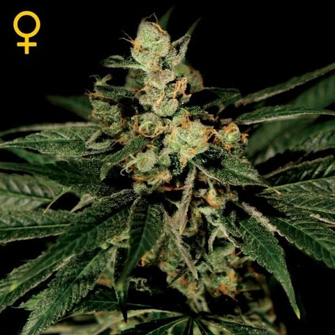 Green House Seeds - Trainwreck - The JuicyJoint