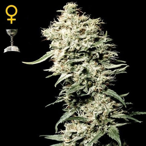 Green House Seeds - White Rhino - The JuicyJoint