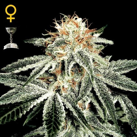 Green House Seeds - White Widow - The JuicyJoint