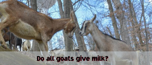 Do All Goats Give Milk?