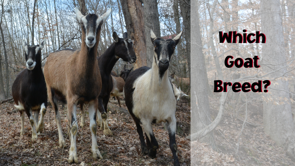 Which goat breed?