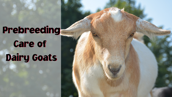 prebreeding care of dairy goats