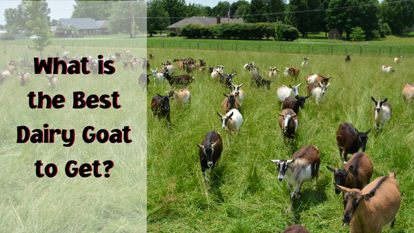 What is the best dairy goat to get?
