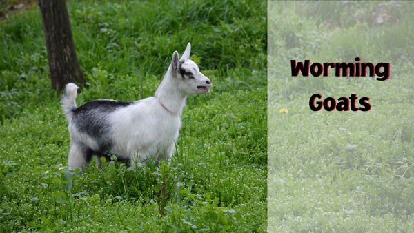 worming goats
