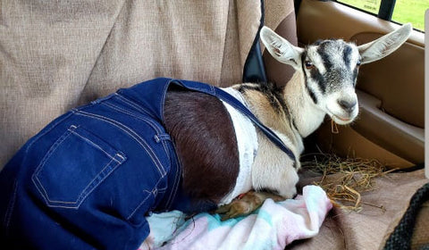 Goat Therapy