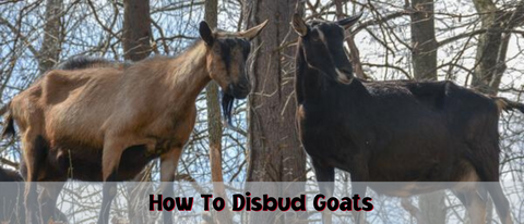 How to disbud goats