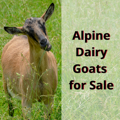 Alpine Dairy Goats For Sale in Indiana