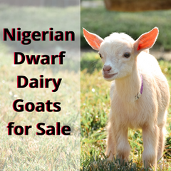Nigerian Dwarf Dairy Goats For Sale in Indiana