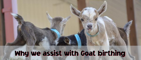 Why we assist in Goat Birthing