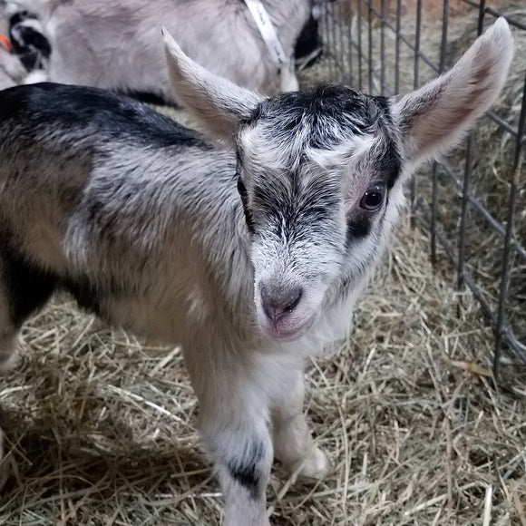 Alpine Dairy Goat Buckling in Southern Indiana