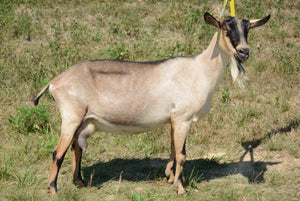 Fable - Alpine Dairy Goat in Southern Indiana 2018