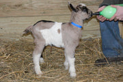 Hannah - Baby Alpine Dairy Goat in Southern Indiana