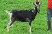 Phantom - Alpine Dairy Goat in Southern Indiana