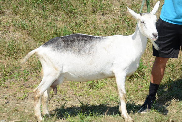 Tapanzee - Alpine Dairy Goat in Southern Indiana