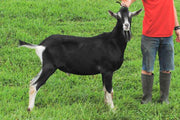 Vladimir - Alpine Dairy Goat in Southern Indiana