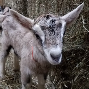 Alpine Dairy Goat Doeling in Southern Indiana