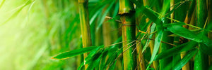 bamboo growing grass