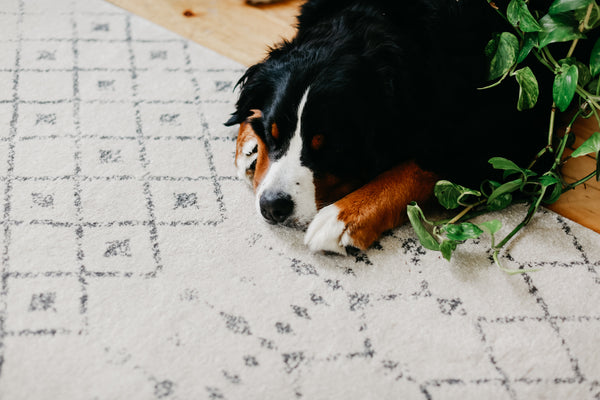 Millennial Currency Bernese Mountain Dog