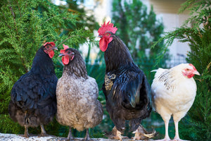 Now is the Time for Molting Chickens