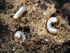 Sustainable Control of Grubs in the Lawn & Garden