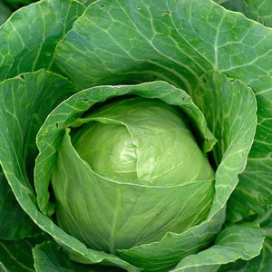 EARLY JERSEY WAKEFIE CABBAGE