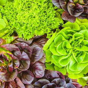 ROMAINE OR COS LETTUCE